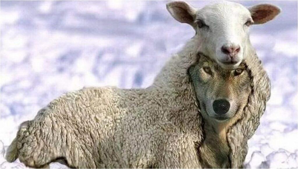 un lupo travestito da pecora